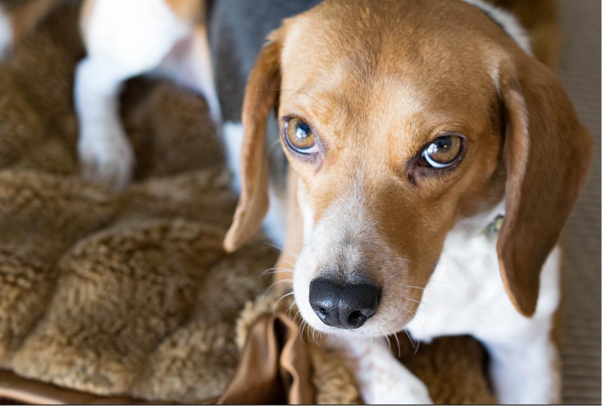 La 'alucinante' cura de perros con distrofia muscular acerca la solución a humanos