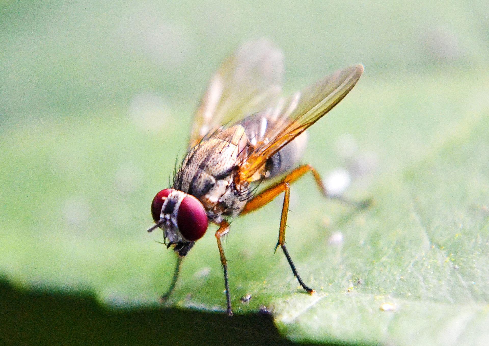 La mosca de la fruta revela una nueva forma de medir la consciencia