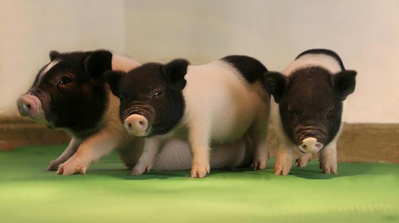 Tres crías de cerdo modificadas genéticamente con CRISPR